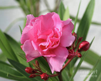 Art Print featuring the photograph Oleander Splendens Giganteum 1 by Wilhelm Hufnagl