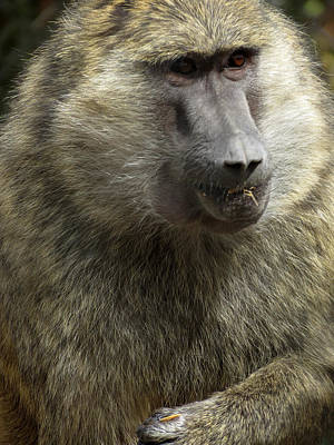 Photograph - Olive Baboon by Laurel Powell