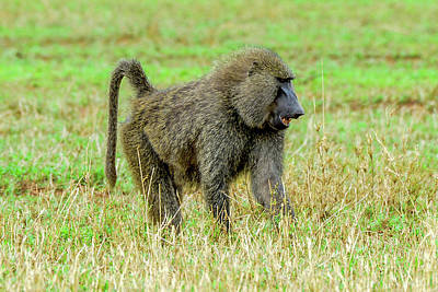 Photograph - Olive Baboon - Serengeti by Marilyn Burton