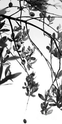 Photograph - Olive Branch 4 Black And White 2 by Angela Rath