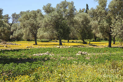 Photograph - Olive Grove In Crete by Patricia Hofmeester