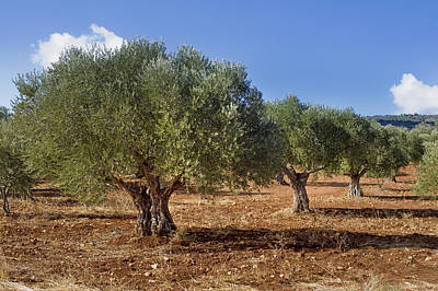 Olive Grove In Galille Print by Noam Armonn