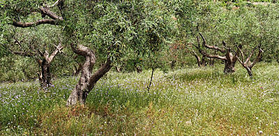 Photograph - Olive Groves by Shirley Mitchell