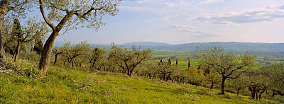 Olive Orchard On A Landscape, Assisi Art Print by Panoramic Images
