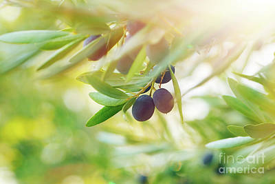 Photograph - Olive Tree Background by Anna Om