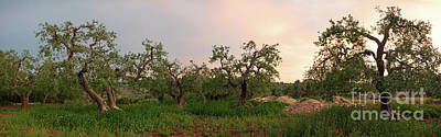 Photograph - Olive Tree Grove Panorama by IPics Photography