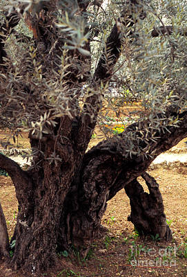 Abstract Airplane Art - Olive Tree in The Garden of Gethsemane by Thomas R Fletcher