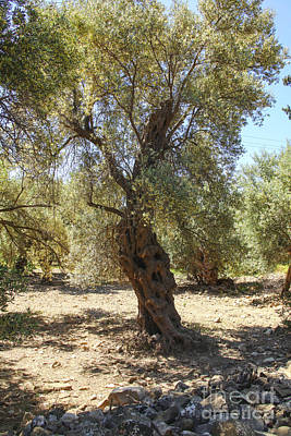 Photograph - Olive Tree by Patricia Hofmeester