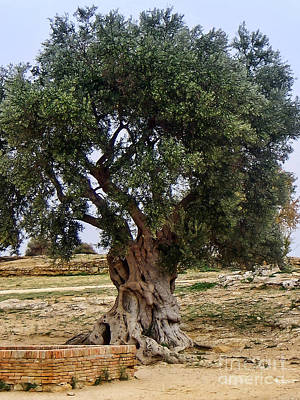 Sicily Photograph - Olive Tree Sicily by Lutz Baar