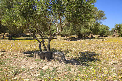 Photograph - Olive Trees And Old Parts Of Ruins On A Greek Olive Grove by Patricia Hofmeester