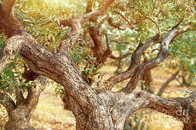 Photograph - Olive Trees Garden by Anna Om