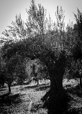 Photograph - Olive Trees In Italy 2 by Andrea Mazzocchetti