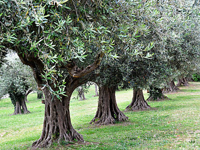 Olive Trees In Umbria Art Print by Marion McCristall