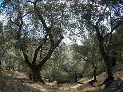 Photograph - Olive Trees by Jouko Lehto