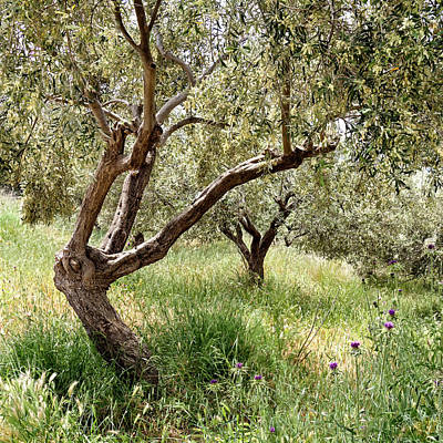 Photograph - Olive Trees by Shirley Mitchell