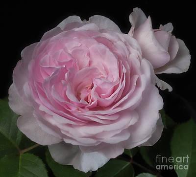 Olivia Austin Rose Art Print