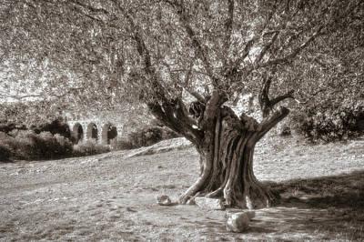 Photograph - Olivo by Roberto Pagani