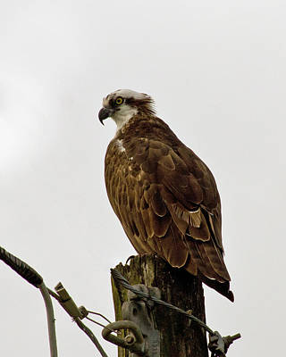 Photograph - Ollie, The Osprey by John Myers