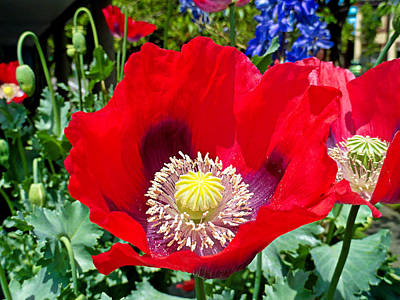 Photograph - Olympia Poppy by Robert Meyers-Lussier