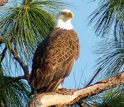 Olympia Street Eagle Print by Sandy Poore