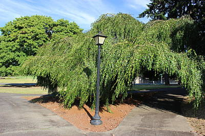 Olympia, Washington Tree With Lamppost Original