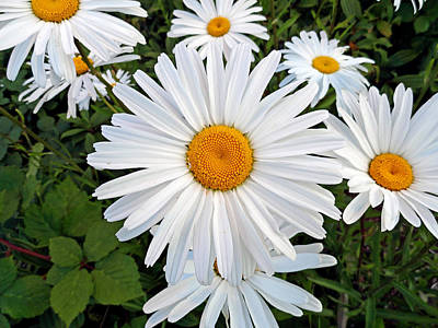 Photograph - Olympia White Daisy by Robert Meyers-Lussier