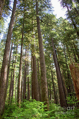 Photograph - Olympic National Park Forest by Cheryl Del Toro
