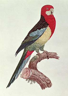 Macaws Painting - Omnicolored Parakeet by Jacques Barraband