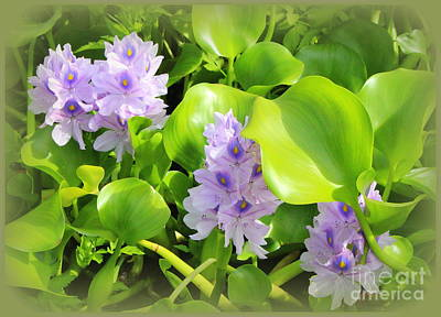 Tropical Water Lilies In Full Bloom Art Print
