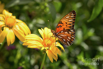 Fluttering Photograph - On A Yellow Daisy by Ana V Ramirez