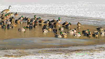 Photograph - On Mallard Pond by Edward Peterson