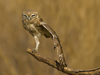 Little Owl Photograph - On One Feet by Amnon Eichelberg
