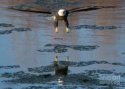 Eagle Photograph - On The Hunt by Mike Dawson