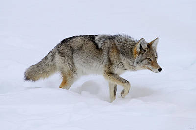 Photograph - On The Prowl by Greg Norrell