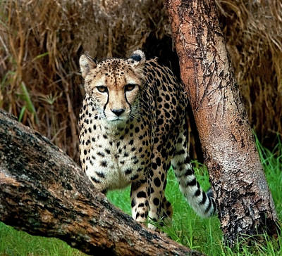 On The Prowl Art Print by Heather Thorning