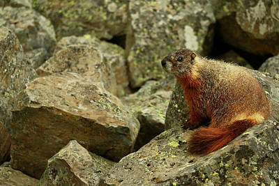 Photograph - On The Rocks Marmot by Christiane Schulze Art And Photography