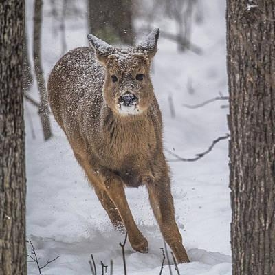 Trophy Buck Photograph - On The Run by Paul Freidlund
