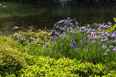 Photograph - On The Sunny Bank Of The Pond - Abundant Purple Iris Blooms  by Georgia Mizuleva