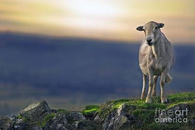 Mammals Royalty-Free and Rights-Managed Images - On The Top Of The World by Angel Ciesniarska