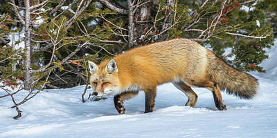 Photograph - On The Winter Fox Trail by Yeates Photography