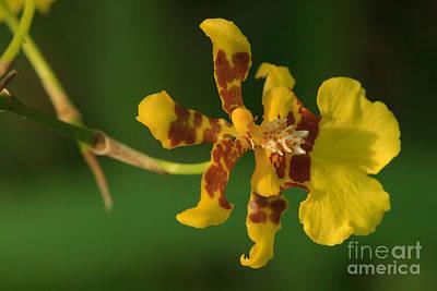 Photograph - Oncidium Excavatum Orchid by Charles Kozierok