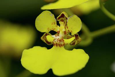 Oncidium Orchid Flower Original
