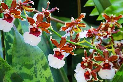 Photograph - Oncidium Orchids by Kathryn Meyer