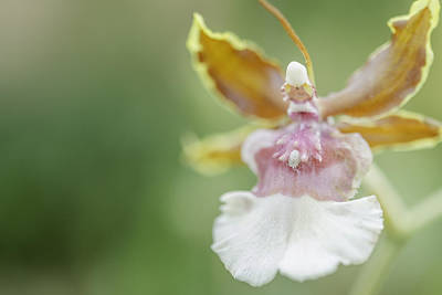 Photograph - Oncidium Surprise by Mary Angelini