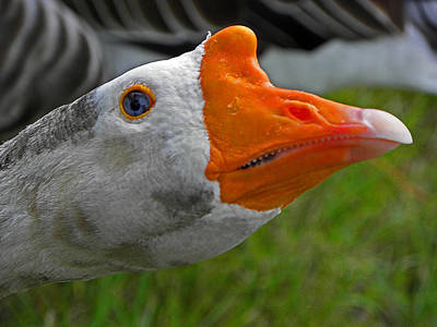 Photograph - One Angry Goose by Elizabeth Hoskinson