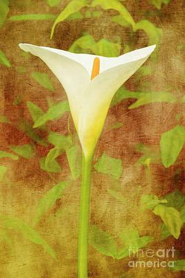 Photograph - One Arum Lily by Terri Waters