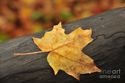 Photograph - One Autumn Maple Leaf by Terri Gostola