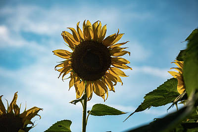 Photograph - One Backlit Sunflower In A Blue Sky by Anthony Doudt