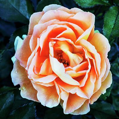 Photograph - One Beautiful Peach Rose by Vishwanath Bhat