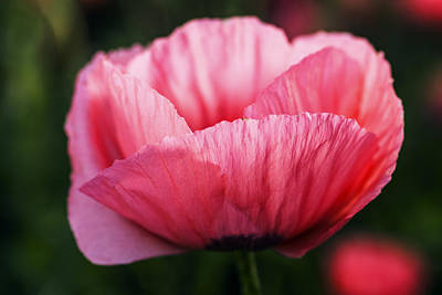 One Single Pink Poppy Flower Photograph - One Beautiful Pink Poppy Flower by Vishwanath Bhat